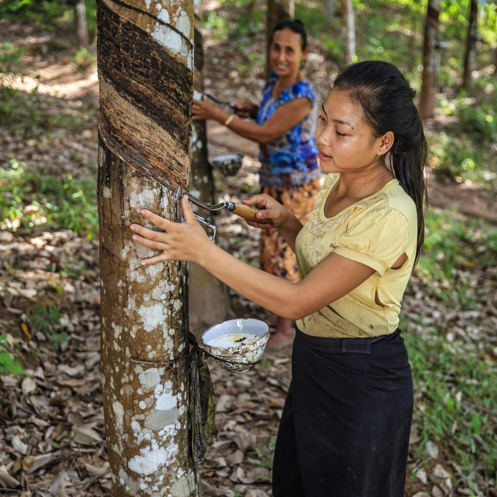 Laotian woman collecting a latex from a rubber tree in Northern Laos