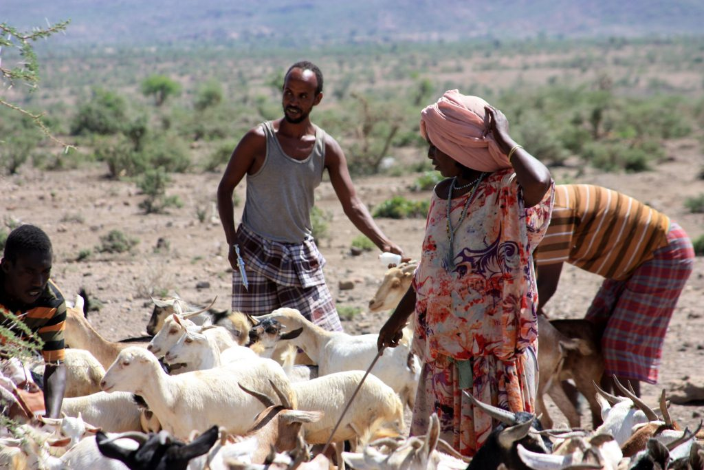 Communities bring their livestock for vaccination in Siti Zone, Ethiopia