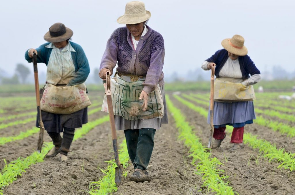 Three Peruvian farmers in a crop.